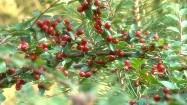 Krzew z czerwonymi owocami