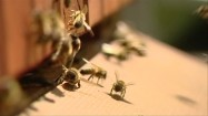 Pszczoły wlatujące do ula