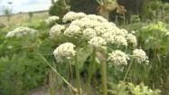Białe kwiaty barszczu Sosnowskiego