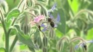 Pszczoła zapylająca rośliny