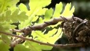 Bonsai - gałęzie i liście dębu burgundzkiego