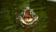 Sztuczny krokodyl