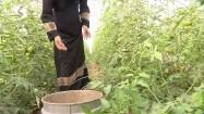 Arabska kobieta zbierająca pomidory w szklarni