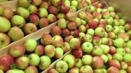 Mycie jabłek w przetwórni