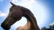 Gniady koń