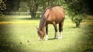 Pasący się koń