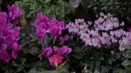 Różowe cyklameny
