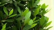 Drzewko laurowe - liście