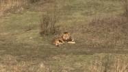 Lwy na wybiegu w zoo
