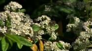 Pszczoła na kwiatach irgi wierzbolistnej