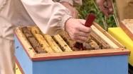 Wyciąganie plastra miodu z ula