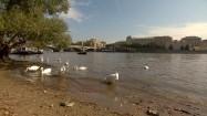 Łabędzie na brzegu Wełtawy