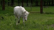 Biały kucyk skubiący trawę