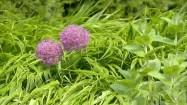 Kwiaty czosnku
