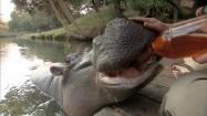 Hipopotam pijący z butelki