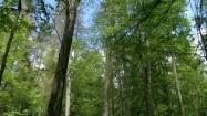 Drzewa w Puszczy Białowieskiej