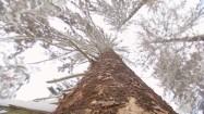 Pień drzewa iglastego