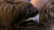 Leniwiec na rękach opiekunki