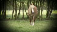 Koń maści izabelowatej