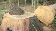 Pień ściętego drzewa