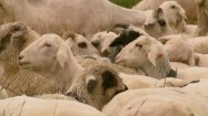 Kozy i owce na pastwisku