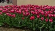 Różowe tulipany na rabacie