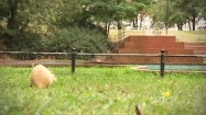 Nutria skubiąca trawę