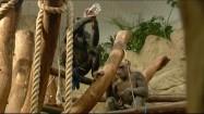 Szympans pijący z butelki