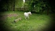Biały kucyk