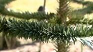 Gałęzie araukarii