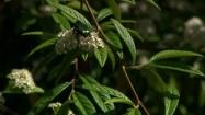 Chrząszcz na kwiatku irgi wierzbolistnej