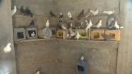 Gołębie w gołębniku