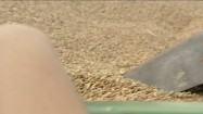Ziarna pszenicy