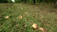 Jabłka leżące pod drzewami w sadzie