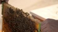 Wkładanie plastra miodu do ula