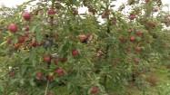 Traktor w sadzie jabłkowym