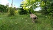 Pawie na trawie
