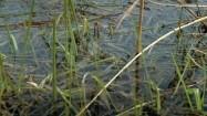 Kumak nizinny w wodzie