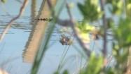 Krokodyl zanurzony w wodzie