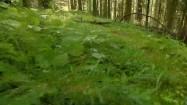 Ściółka leśna i muchomor