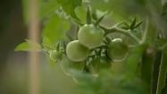 Niedojrzałe pomidory i truskawki