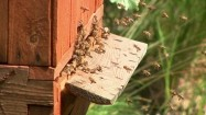 Pszczoły  - wejście do ula