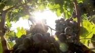 Plantacja winorośli - kiście winogron