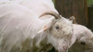 Białe kozy