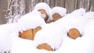 Ścięte pnie drzew pod śniegiem