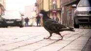 Gołąb przechadzający się po bruku