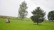 Stado owiec w Bieszczadach
