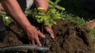 Sadzenie iglaka