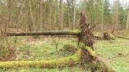 Powalone drzewa w Puszczy Białowieskiej