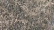Gałęzie pokryte grubą pajęczyną